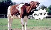 Cow burbs